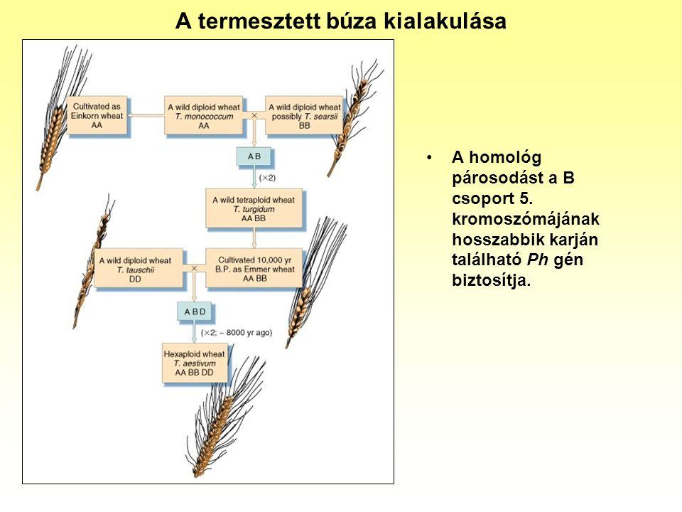 A termesztett búza kialakulása A homológ párosodást a B csoport 5. kromoszómájának hosszabbik karján található Ph gén biztosítja.