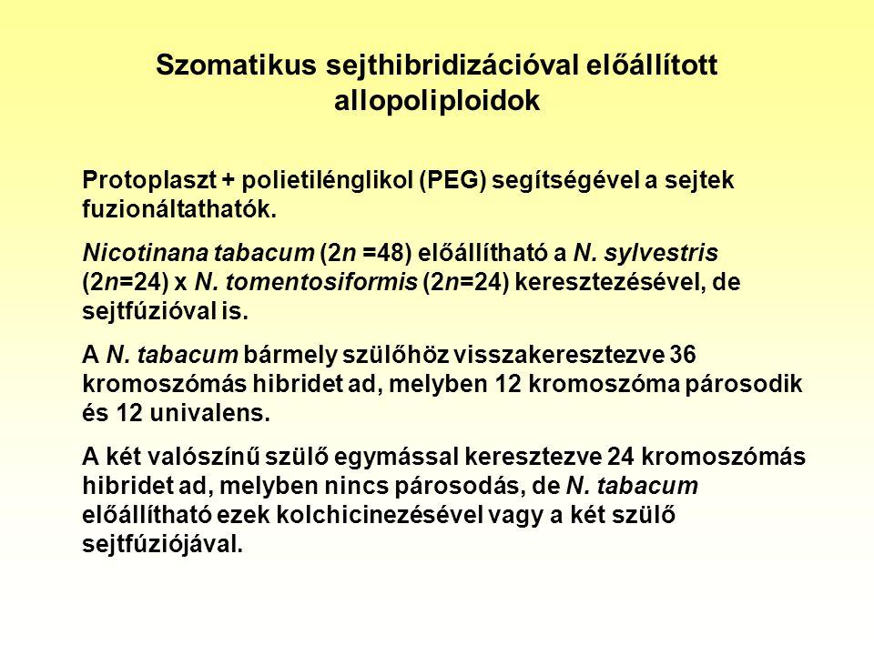 Szomatikus sejthibridizációval előállított allopoliploidok Protoplaszt + polietilénglikol (PEG) segítségével a sejtek fuzionáltathatók. Nicotinana tab