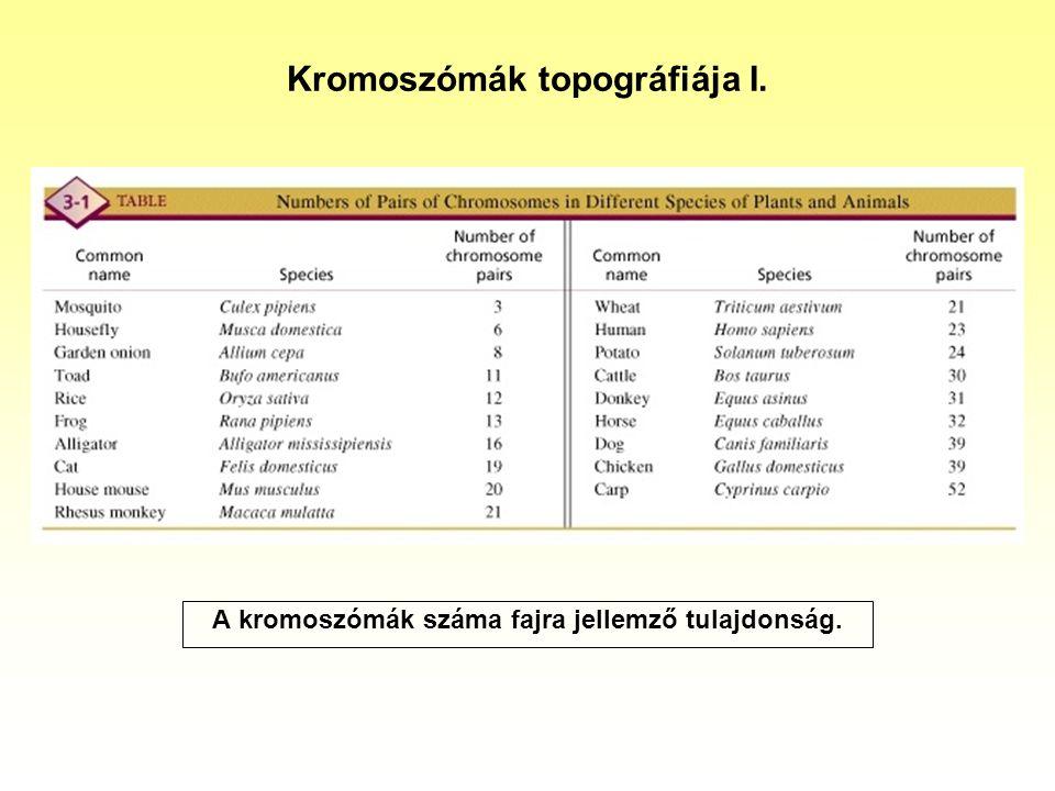 Kromoszómák topográfiája II. A centroméra helyzete meghatározza a kromoszóma alakját.