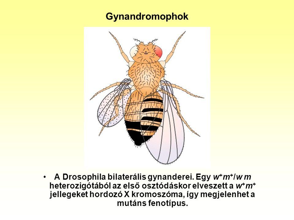 Gynandromophok A Drosophila bilaterális gynanderei. Egy w + m + /w m heterozigótából az első osztódáskor elveszett a w + m + jellegeket hordozó X krom