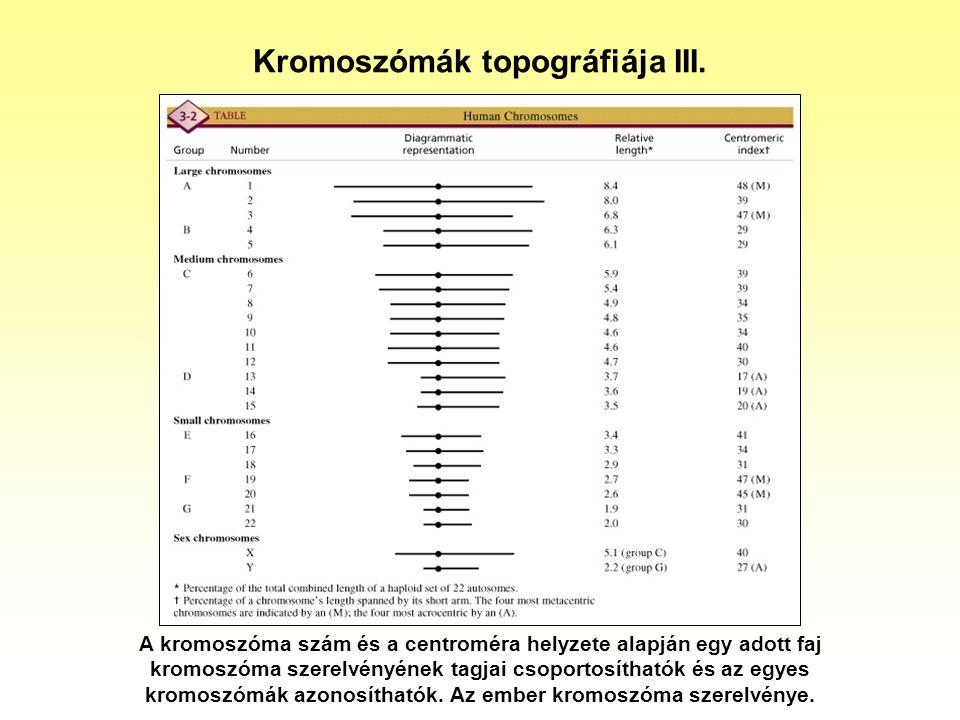 Kromoszómák topográfiája III. A kromoszóma szám és a centroméra helyzete alapján egy adott faj kromoszóma szerelvényének tagjai csoportosíthatók és az