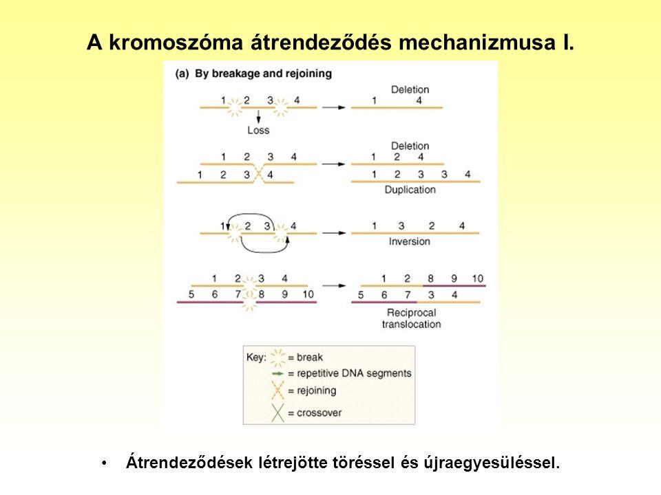 Transzlokációk humán esetei I.