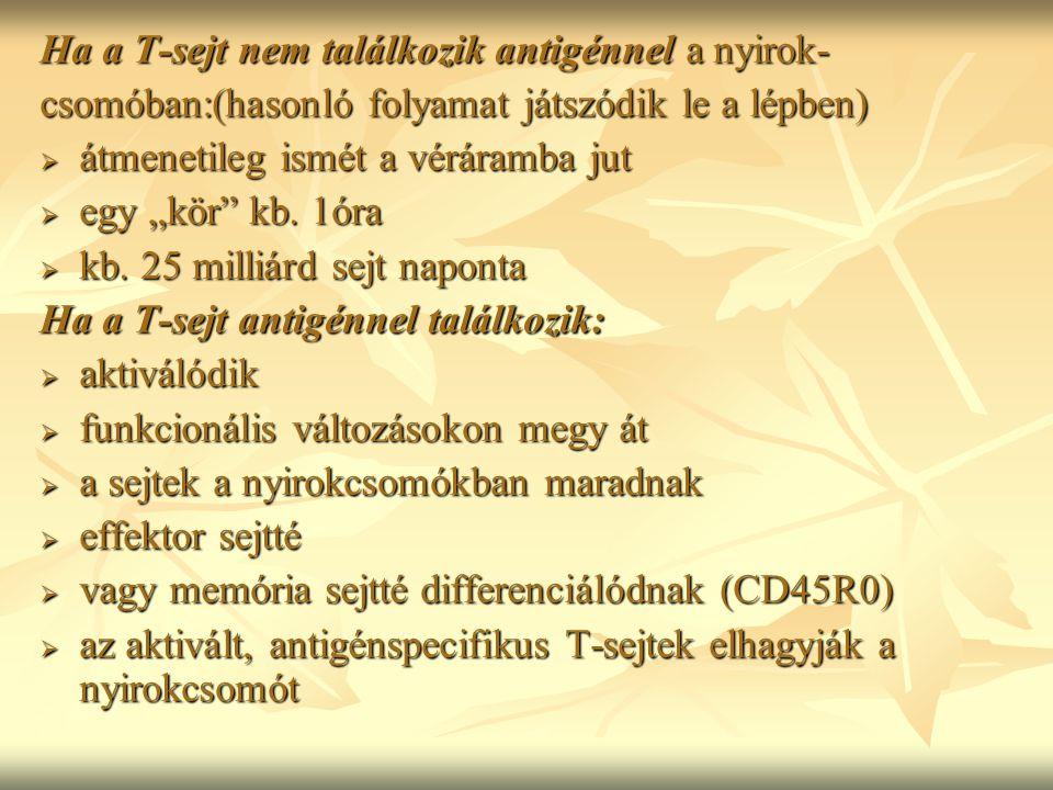 """Ha a T-sejt nem találkozik antigénnel a nyirok- csomóban:(hasonló folyamat játszódik le a lépben)  átmenetileg ismét a véráramba jut  egy """"kör"""" kb."""