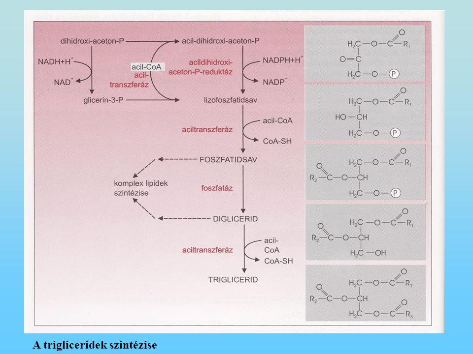 A trigliceridek szintézise