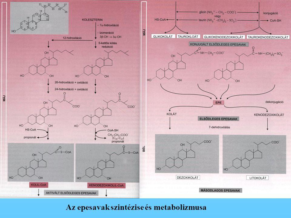 Az epesavak szintézise és metabolizmusa
