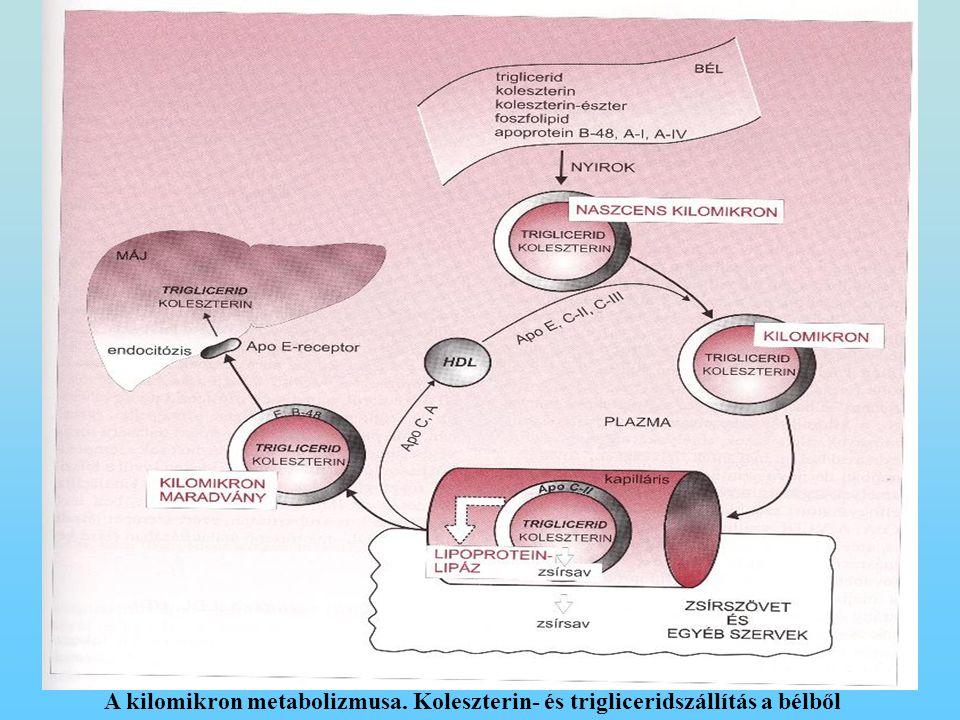 2-135.ábra A kilomikron metabolizmusa. Koleszterin- és trigliceridszállítás a bélből