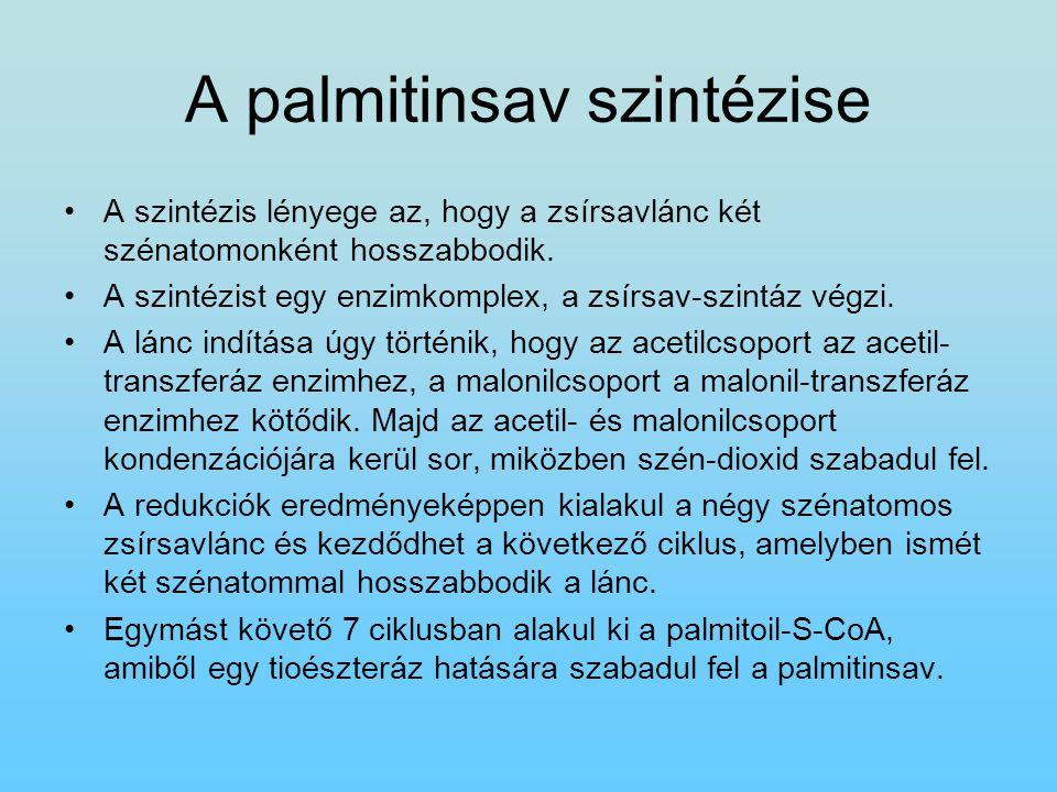 A palmitinsav szintézise A szintézis lényege az, hogy a zsírsavlánc két szénatomonként hosszabbodik. A szintézist egy enzimkomplex, a zsírsav-szintáz
