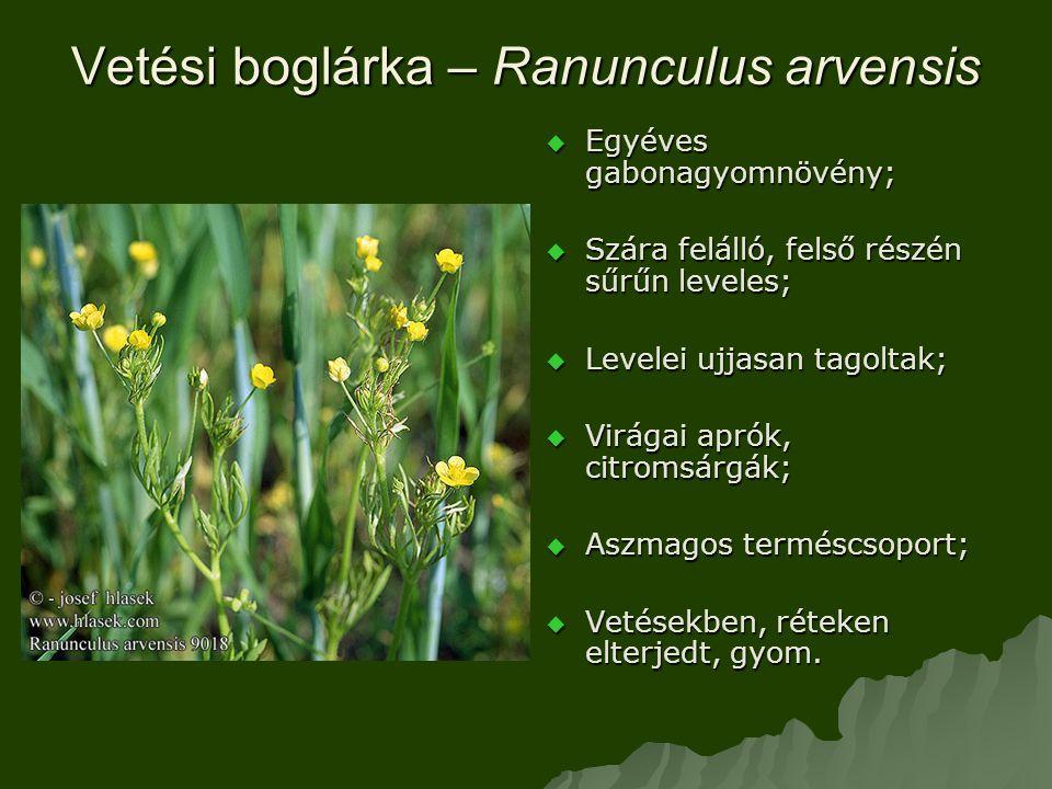 Vetési boglárka – Ranunculus arvensis  Egyéves gabonagyomnövény;  Szára felálló, felső részén sűrűn leveles;  Levelei ujjasan tagoltak;  Virágai aprók, citromsárgák;  Aszmagos terméscsoport;  Vetésekben, réteken elterjedt, gyom.