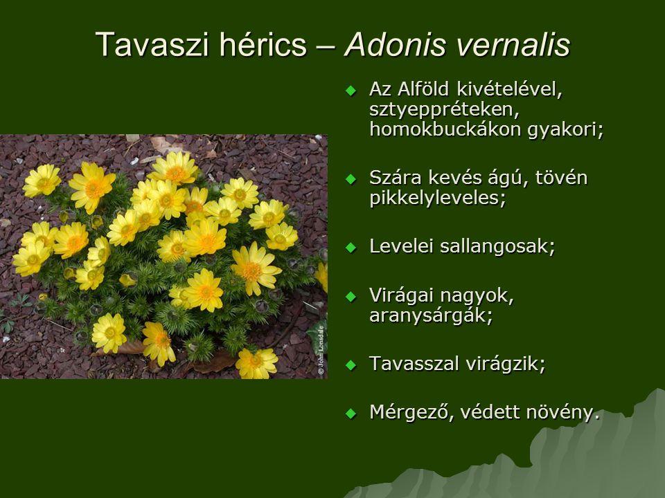 Tavaszi hérics – Adonis vernalis  Az Alföld kivételével, sztyeppréteken, homokbuckákon gyakori;  Szára kevés ágú, tövén pikkelyleveles;  Levelei sallangosak;  Virágai nagyok, aranysárgák;  Tavasszal virágzik;  Mérgező, védett növény.