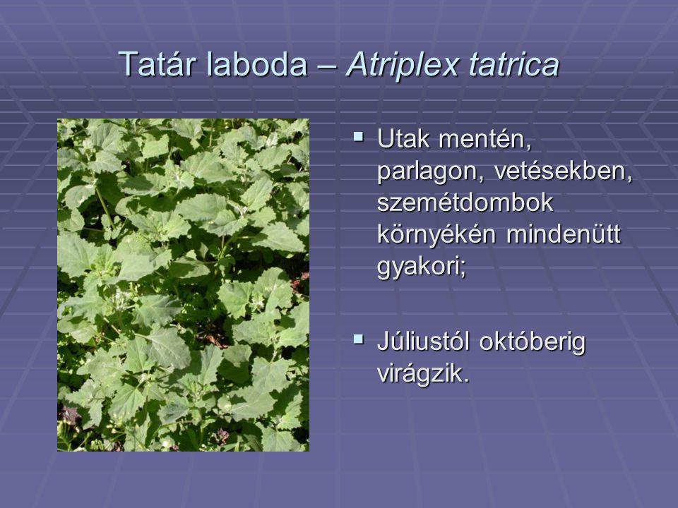 Tatár laboda – Atriplex tatrica  Utak mentén, parlagon, vetésekben, szemétdombok környékén mindenütt gyakori;  Júliustól októberig virágzik.