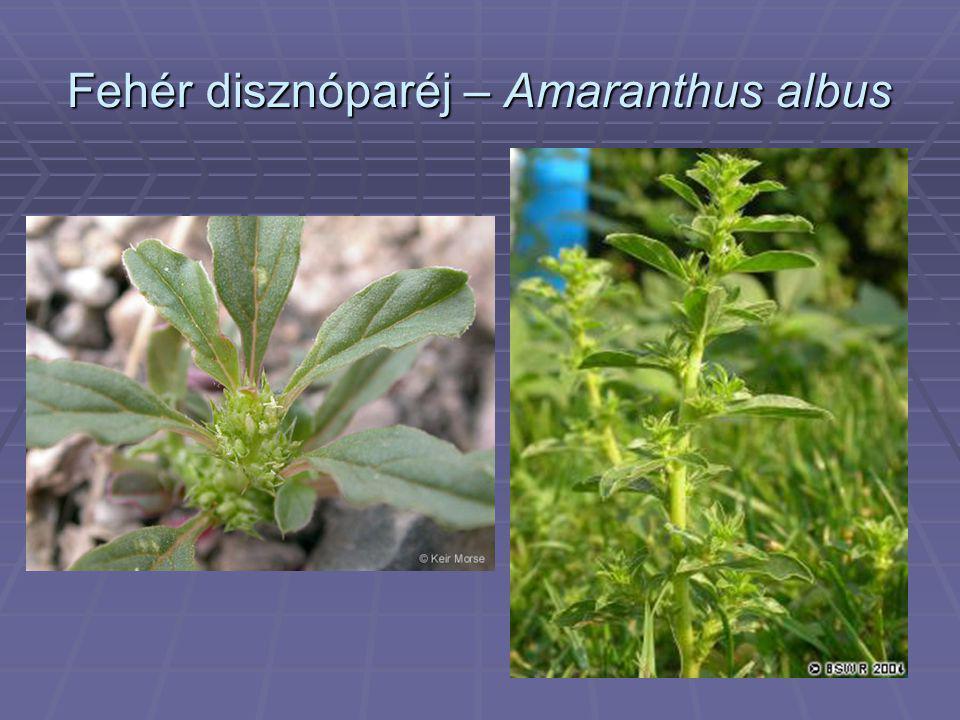Fehér disznóparéj – Amaranthus albus