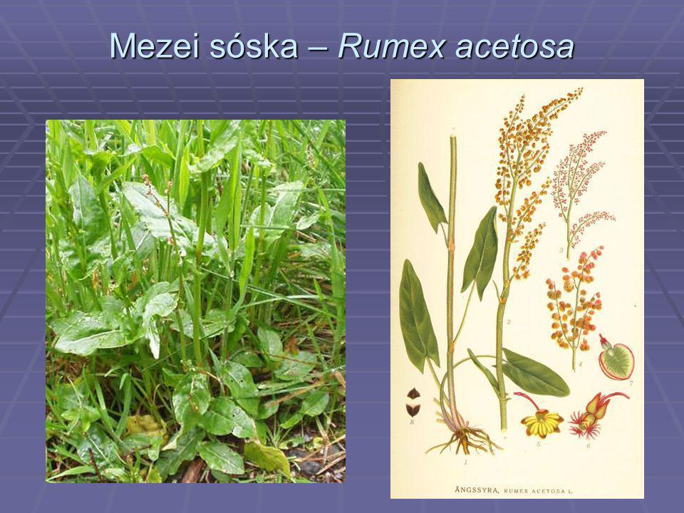 Mezei sóska – Rumex acetosa