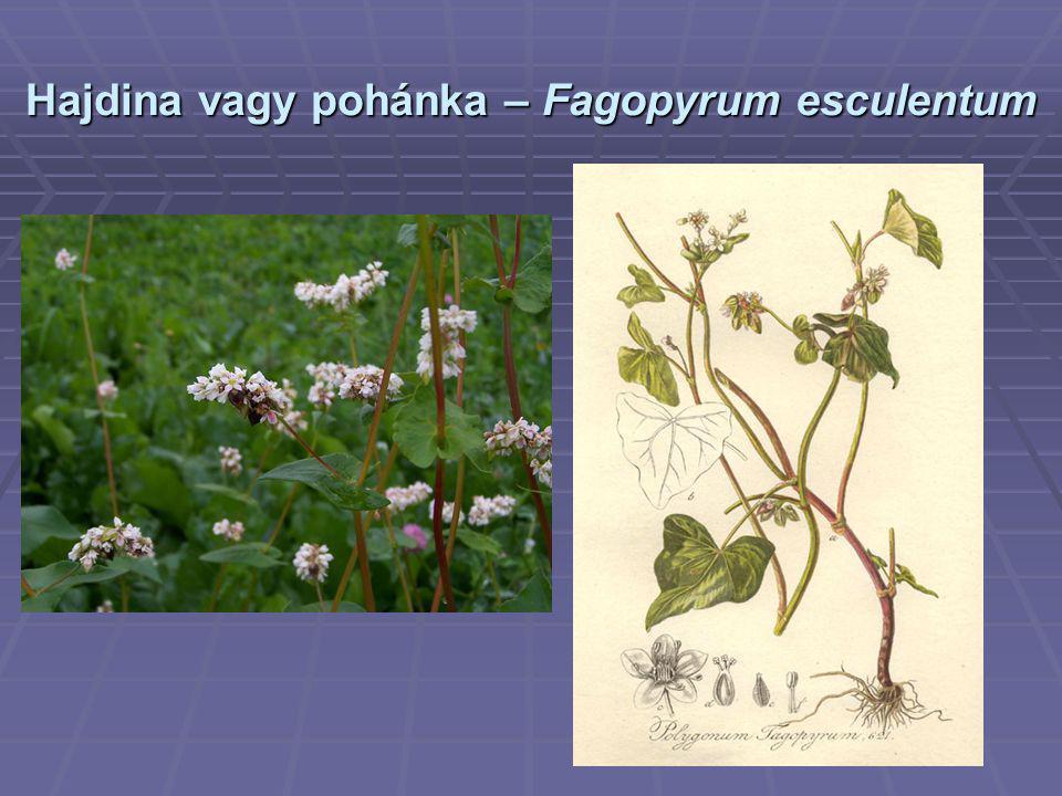 Hajdina vagy pohánka – Fagopyrum esculentum