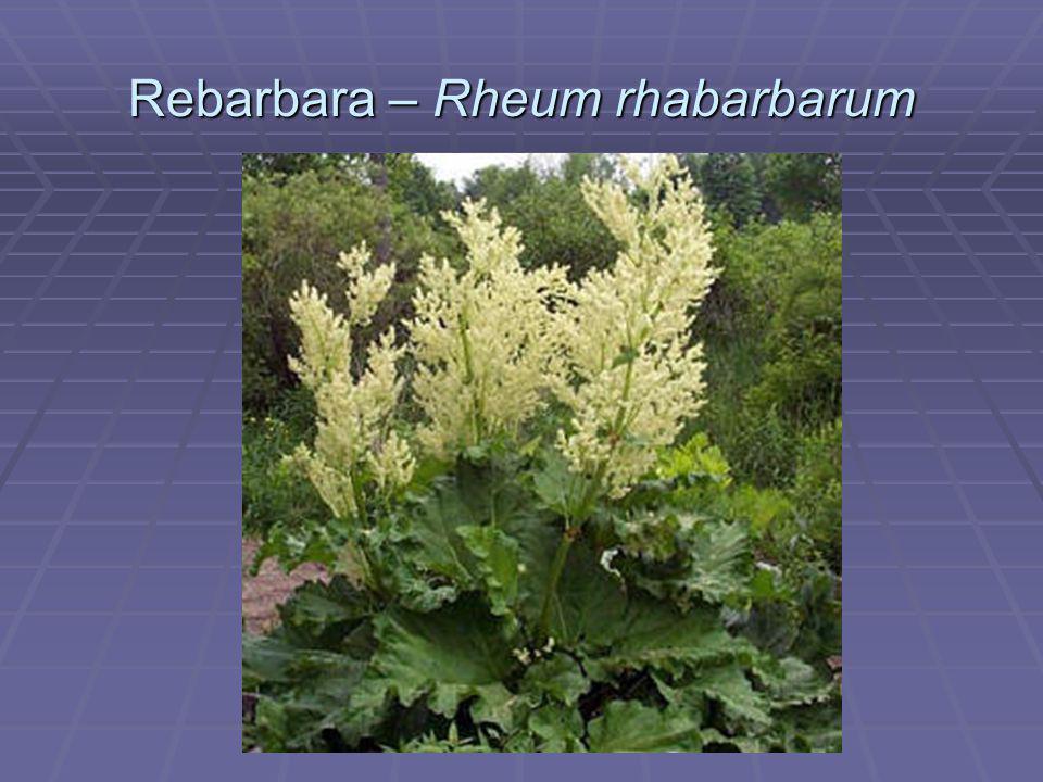 Rebarbara – Rheum rhabarbarum