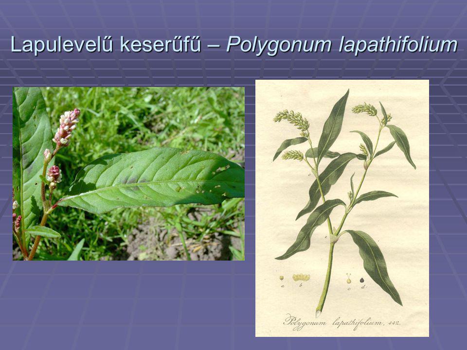 Lapulevelű keserűfű – Polygonum lapathifolium