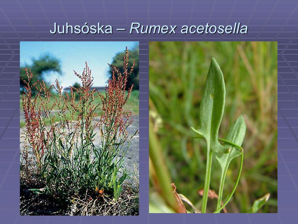 Juhsóska – Rumex acetosella