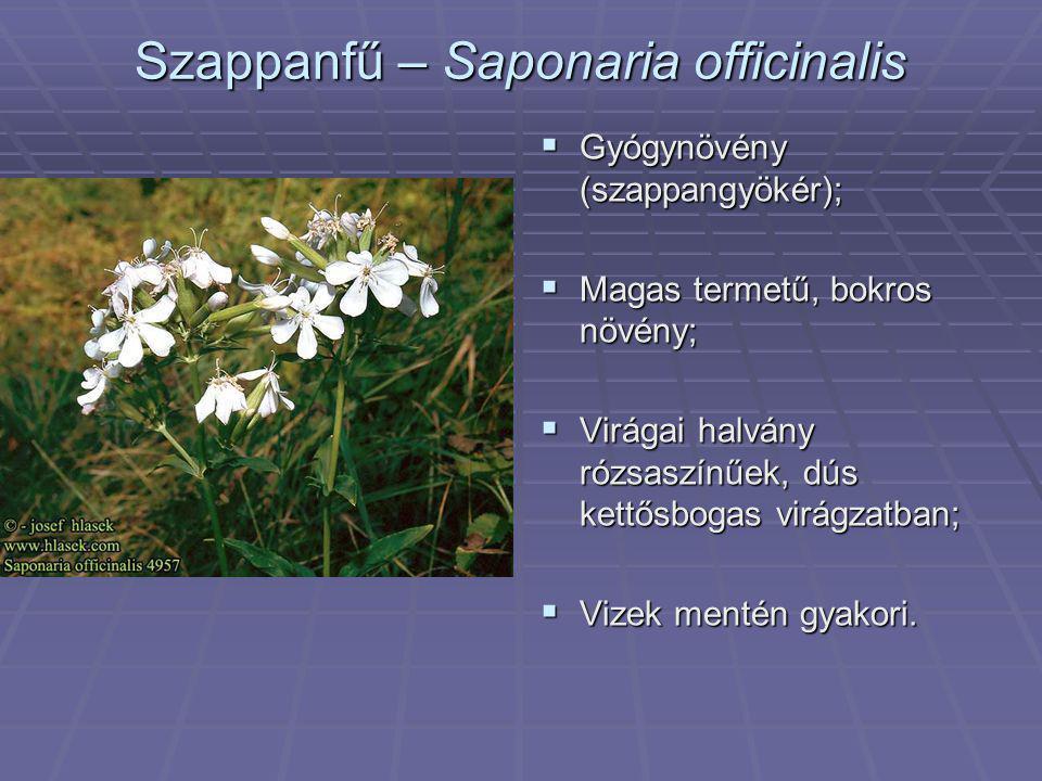 Szappanfű – Saponaria officinalis  Gyógynövény (szappangyökér);  Magas termetű, bokros növény;  Virágai halvány rózsaszínűek, dús kettősbogas virág
