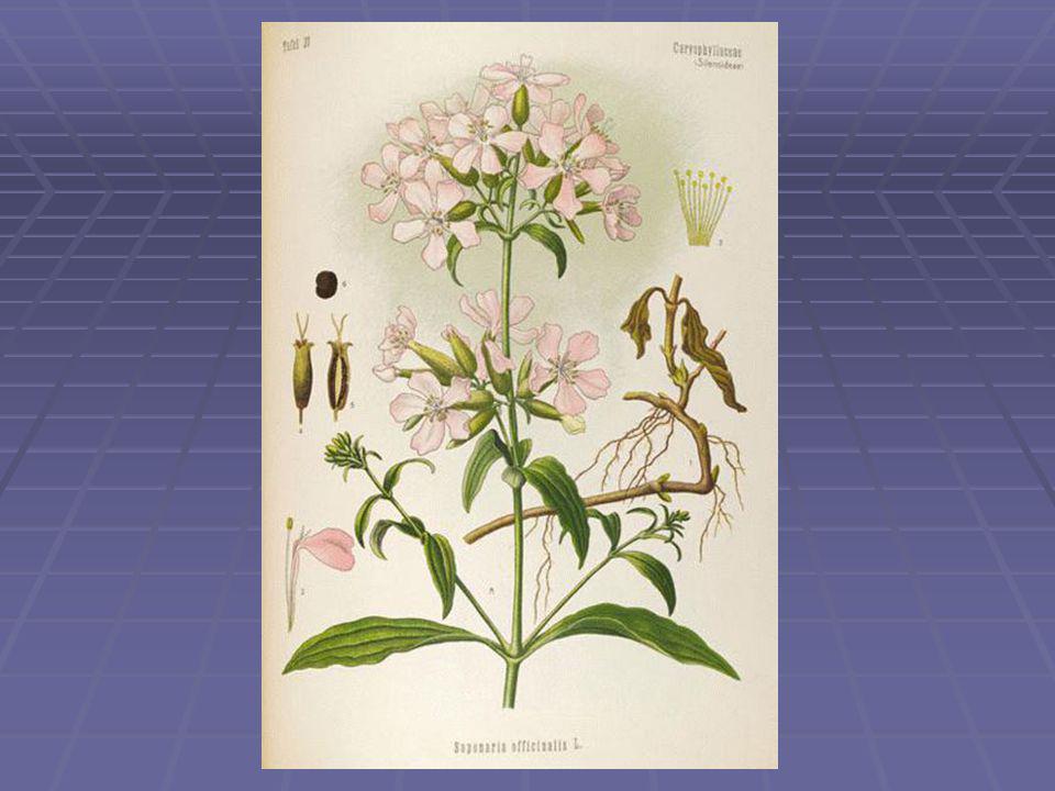 Fehér libatop – Chenopodium album