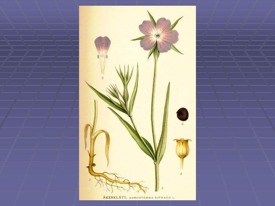 Fehér mécsvirág – (Melandrium album) Silene latifolia subsp.