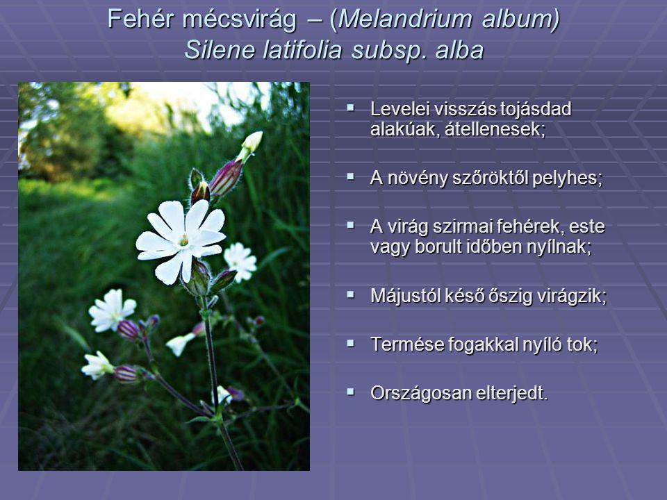 Fehér mécsvirág – (Melandrium album) Silene latifolia subsp. alba  Levelei visszás tojásdad alakúak, átellenesek;  A növény szőröktől pelyhes;  A v