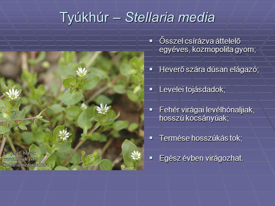 Tyúkhúr – Stellaria media  Ősszel csírázva áttelelő egyéves, kozmopolita gyom;  Heverő szára dúsan elágazó;  Levelei tojásdadok;  Fehér virágai le