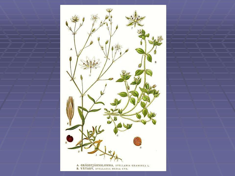 Libatopfélék családja - Chenopodiaceae  Főleg lágyszárú, ritkábban cserjeszerű növények;  Szárukra, gyökerükre másodlagos vastagodás jellemző;  A hajtásrendszer lehet kopasz, szőrös, mirigyszőrös, hólyagszőrös;  A virágok zöldes színűek, leplesek;  Bogas, gomolyos virágzat;  Makkocska, vagy toktermés;  Nagy alkalmazkodóképességű, fényigényű fajok.