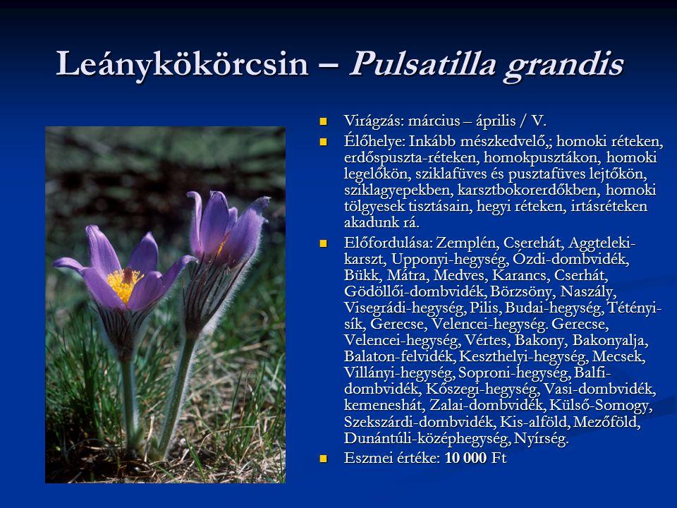Leánykökörcsin – Pulsatilla grandis Virágzás: március – április / V. Élőhelye: Inkább mészkedvelő,; homoki réteken, erdőspuszta-réteken, homokpusztáko
