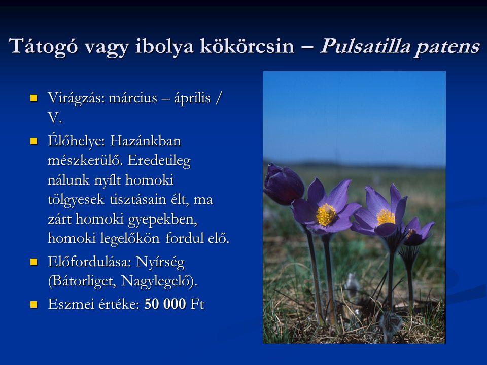 Tátogó vagy ibolya kökörcsin – Pulsatilla patens Virágzás: március – április / V. Virágzás: március – április / V. Élőhelye: Hazánkban mészkerülő. Ere