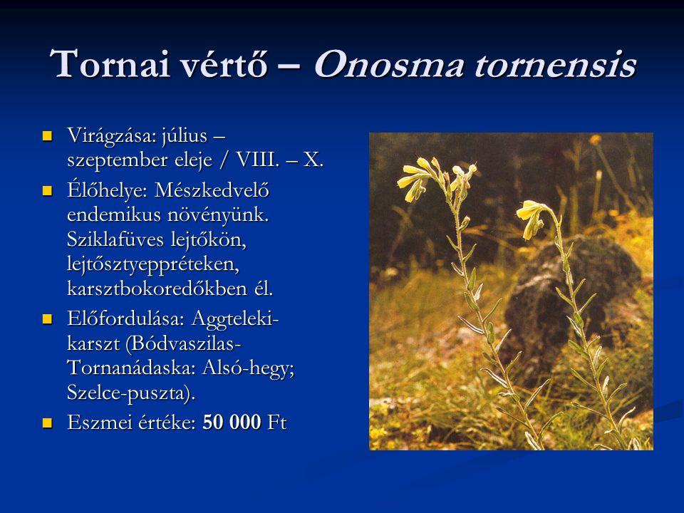 Tornai vértő – Onosma tornensis Virágzása: július – szeptember eleje / VIII. – X. Virágzása: július – szeptember eleje / VIII. – X. Élőhelye: Mészkedv