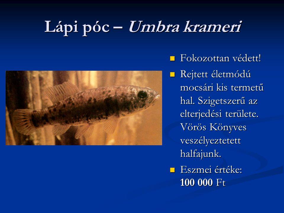 Lápi póc – Umbra krameri Fokozottan védett! Rejtett életmódú mocsári kis termetű hal. Szigetszerű az elterjedési területe. Vörös Könyves veszélyeztete