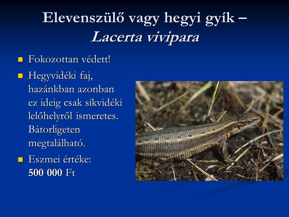 Elevenszülő vagy hegyi gyík – Lacerta vivipara Fokozottan védett! Fokozottan védett! Hegyvidéki faj, hazánkban azonban ez ideig csak síkvidéki lelőhel