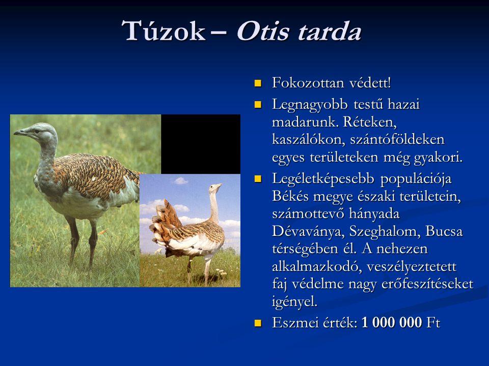 Túzok – Otis tarda Fokozottan védett! Legnagyobb testű hazai madarunk. Réteken, kaszálókon, szántóföldeken egyes területeken még gyakori. Legéletképes