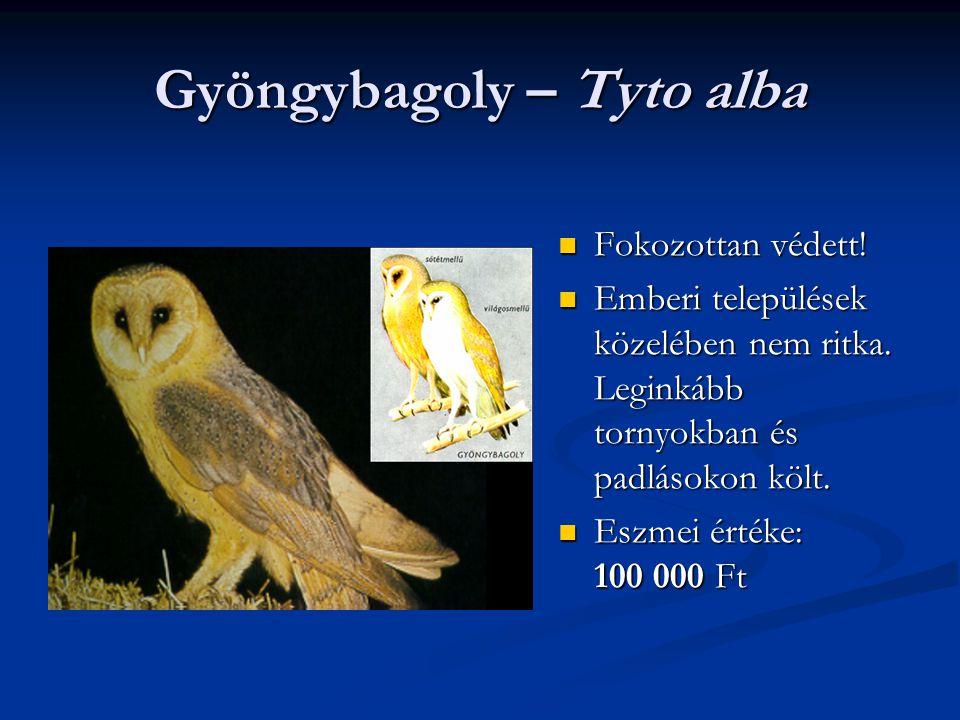 Gyöngybagoly – Tyto alba Fokozottan védett! Emberi települések közelében nem ritka. Leginkább tornyokban és padlásokon költ. Eszmei értéke: 100 000 Ft