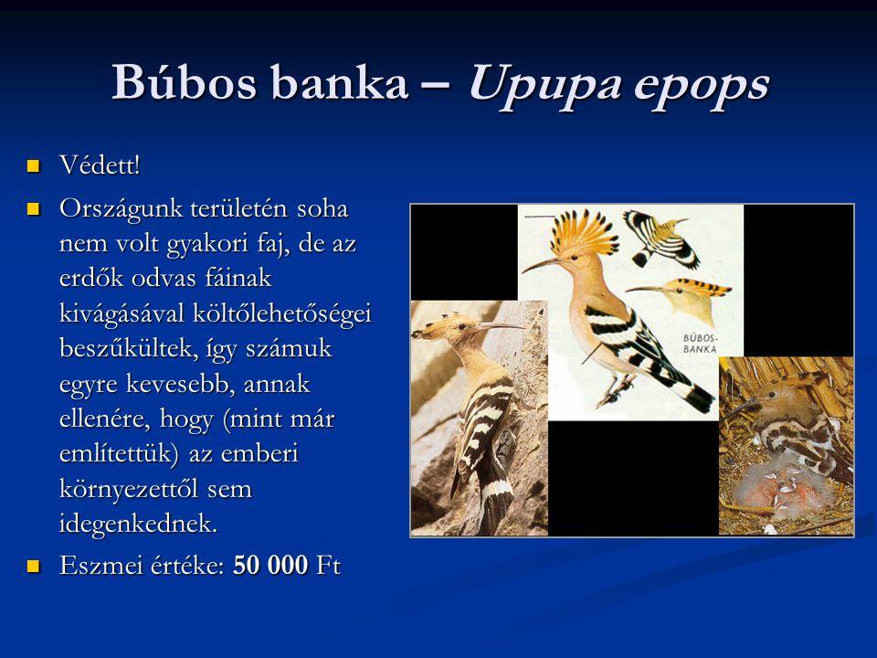 Búbos banka – Upupa epops Védett! Védett! Országunk területén soha nem volt gyakori faj, de az erdők odvas fáinak kivágásával költőlehetőségei beszűkü