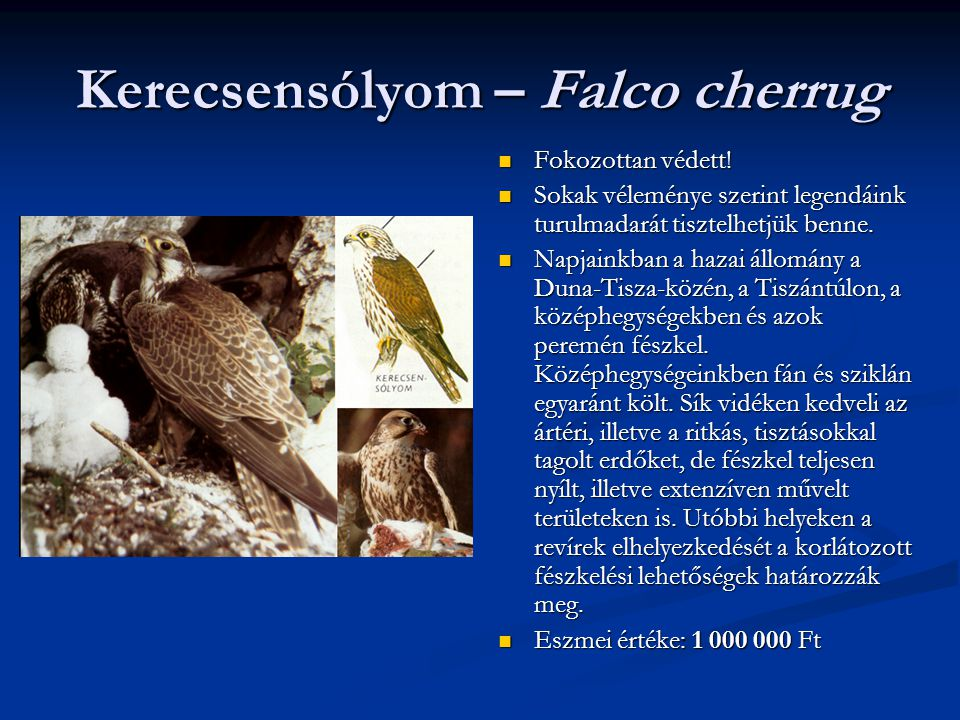 Kerecsensólyom – Falco cherrug Fokozottan védett! Sokak véleménye szerint legendáink turulmadarát tisztelhetjük benne. Napjainkban a hazai állomány a