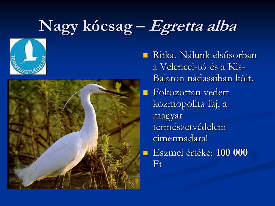 Nagy kócsag – Egretta alba Ritka. Nálunk elsősorban a Velencei-tó és a Kis- Balaton nádasaiban költ. Fokozottan védett kozmopolita faj, a magyar termé