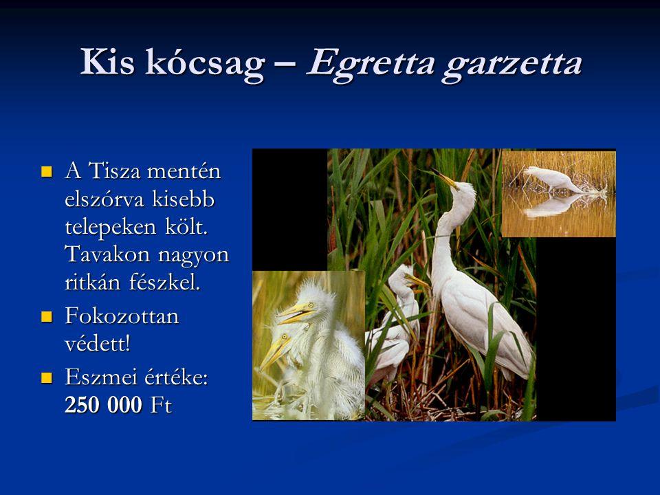 Kis kócsag – Egretta garzetta A Tisza mentén elszórva kisebb telepeken költ. Tavakon nagyon ritkán fészkel. A Tisza mentén elszórva kisebb telepeken k