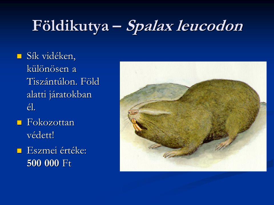 Földikutya – Spalax leucodon Sík vidéken, különösen a Tiszántúlon. Föld alatti járatokban él. Sík vidéken, különösen a Tiszántúlon. Föld alatti járato