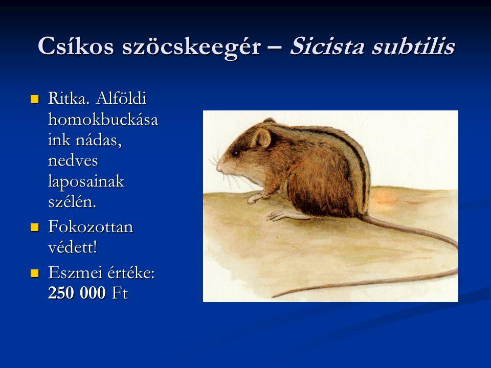 Csíkos szöcskeegér – Sicista subtilis Ritka. Alföldi homokbuckása ink nádas, nedves laposainak szélén. Ritka. Alföldi homokbuckása ink nádas, nedves l