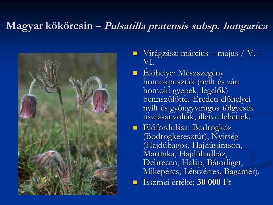 Magyar kökörcsin – Pulsatilla pratensis subsp. hungarica Virágzása: március – május / V. – VI. Élőhelye: Mészszegény homokpuszták (nyílt és zárt homok