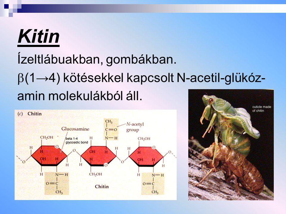 Kitin Ízeltlábuakban, gombákban.  (1→4) kötésekkel kapcsolt N-acetil-glükóz- amin molekulákból áll.