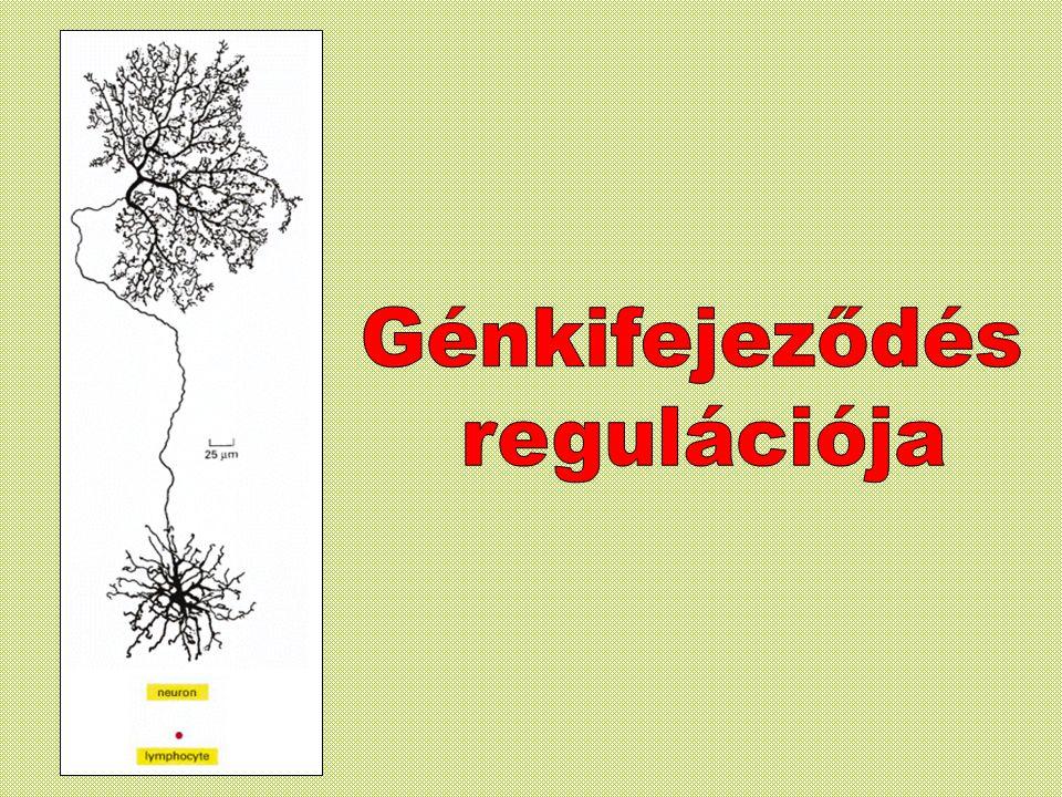 Neuron & limfocita (ellenanyag termelés) Vörös vértestek (haemoglobin termelés) Hasnyálmirigy B sejtek: insulin A sejtek: glukagon ezekben a sejtekben ugyanazok a gének találhatóak, a különbségek pedig a génexpresszióra vezethetők vissza.