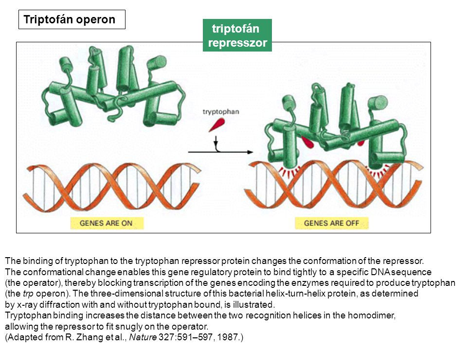 The binding of tryptophan to the tryptophan repressor protein changes the conformation of the repressor. The conformational change enables this gene r