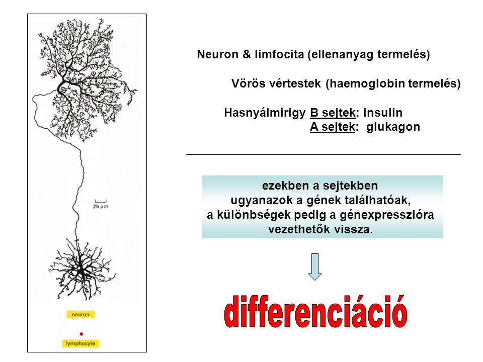 Sejtmemória: a differenciáció során a génexpressziós mintázat szigorúan szabályzott.