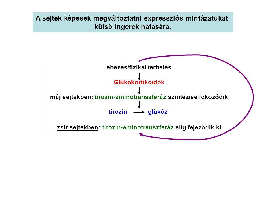 Az eukarioták RNS-polimeráz II.