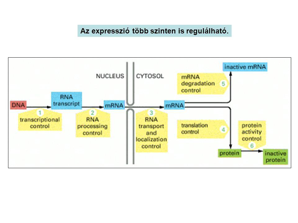 Az eukariota transzkripció cisz szabályzása Az RNS polimeráz II a maximális transzkripció sebesség eléréséhez három cisz elemet, promotert, promoter-közeli és enhanszer - silencer elemeket igényli.