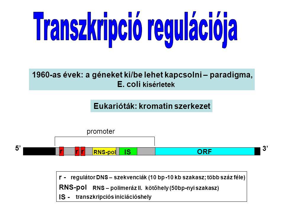 ORF IS RNS-pol 5' 3' promoter r rr r - IS - transzkripciós iniciációshely RNS-pol RNS – polimeráz II.