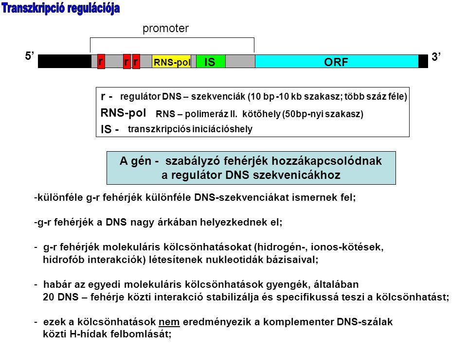 DNS-kötő doménjeik révén a gén - szabályó fehérjék hozzákapcsolódnak a regulátor DNS szekvenicákhoz
