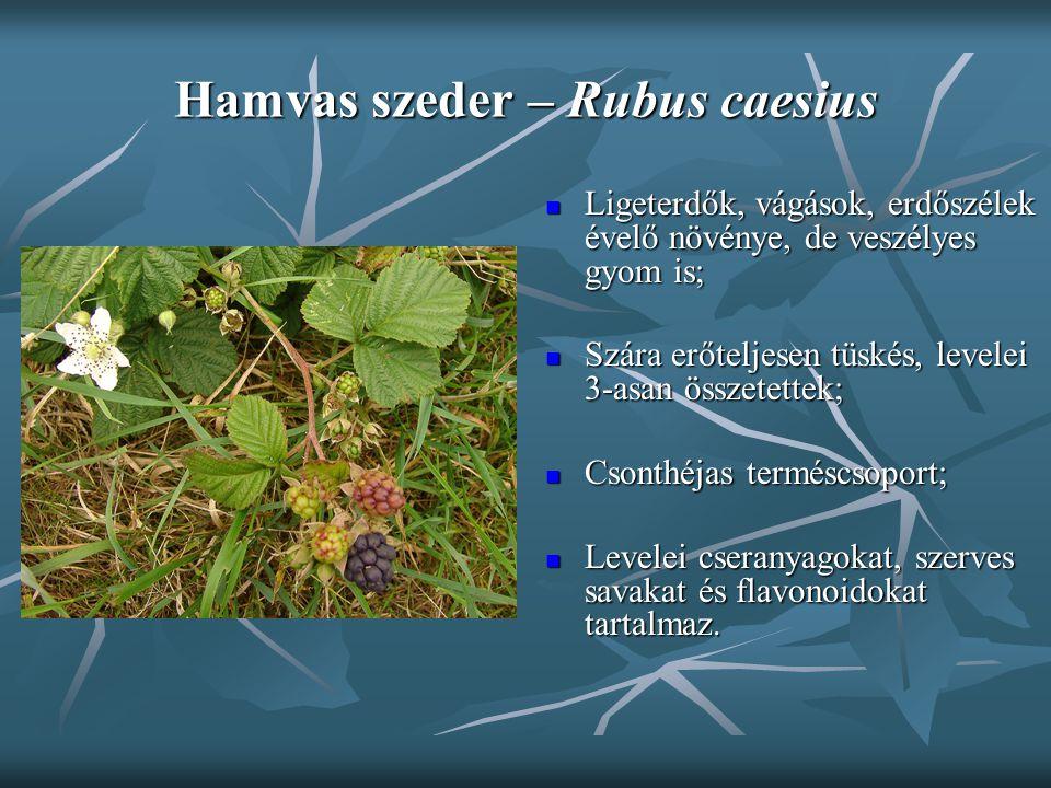 Hamvas szeder – Rubus caesius Ligeterdők, vágások, erdőszélek évelő növénye, de veszélyes gyom is; Ligeterdők, vágások, erdőszélek évelő növénye, de v