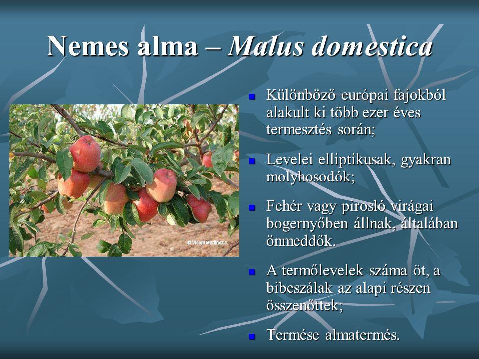 Nemes alma – Malus domestica Különböző európai fajokból alakult ki több ezer éves termesztés során; Különböző európai fajokból alakult ki több ezer év